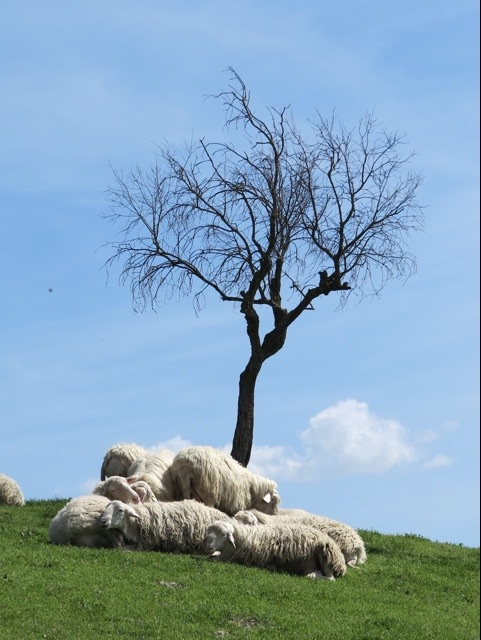 Chianti sheep