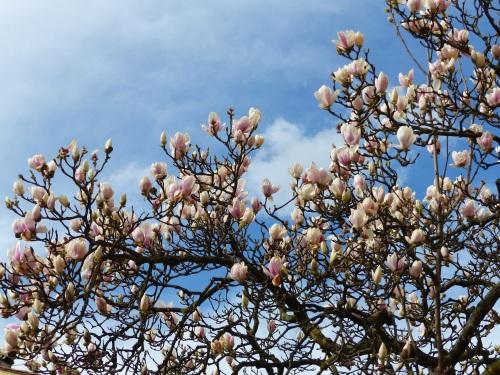 Magnolias in Lucca