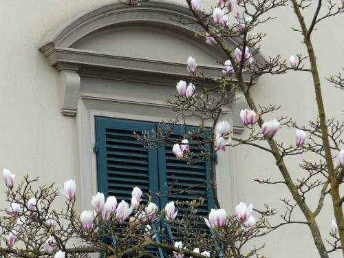 Corso Garibaldi magnolias