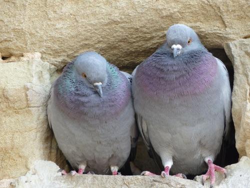 Vinci pigeons