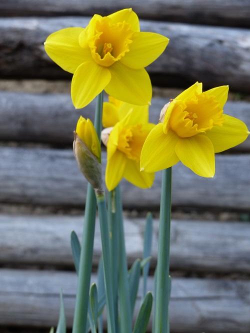 Casa Debbio daffodils