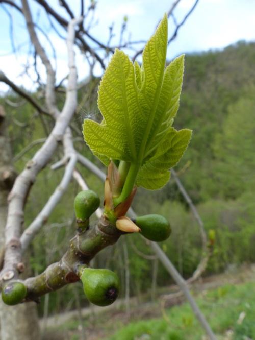 Casa Debbio figs