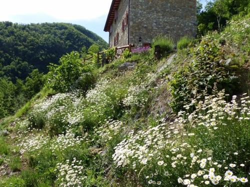 wild daisies at Casa Debbio