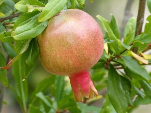 Casa Debbio pomegranates