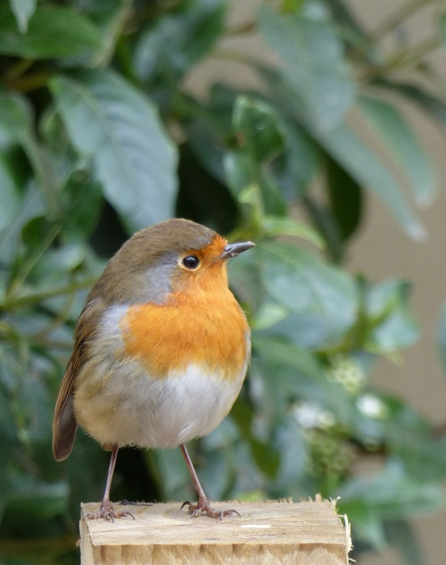 Oxford robin
