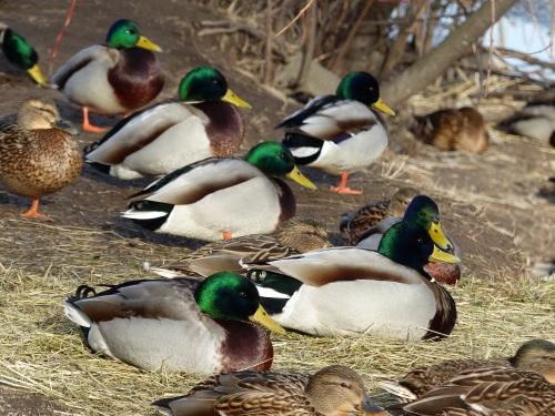 Helsinki ducks