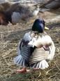 Helsinki duck