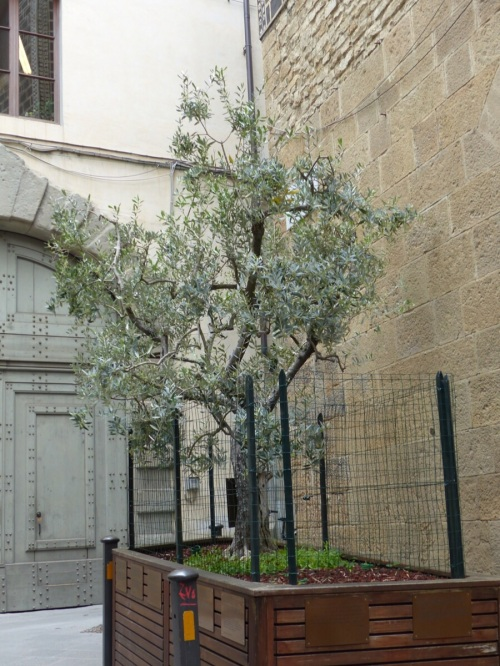Olive tree Florence