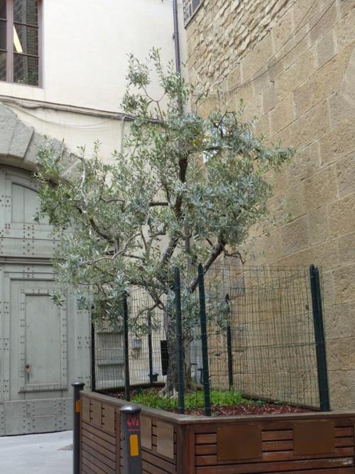 Olive tree Florence