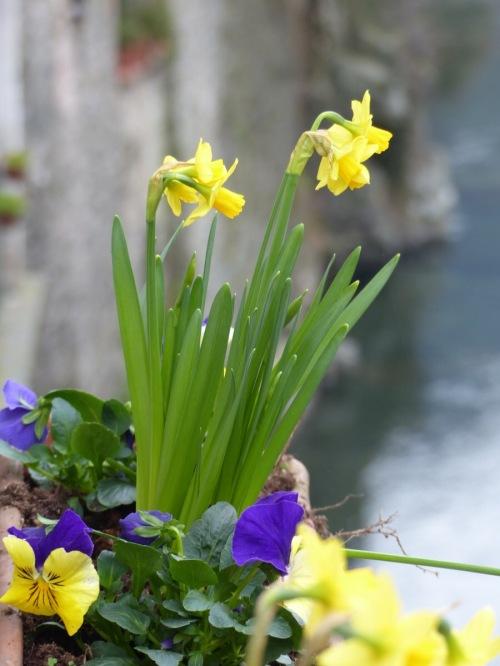 Ponte daffodils