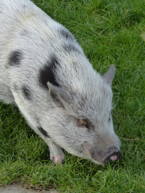 Pig in Paris