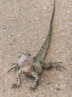 Bob the lizard