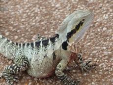 Lennie the lizard
